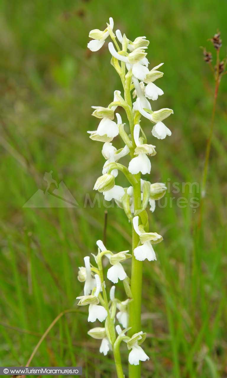 33_Orhidee