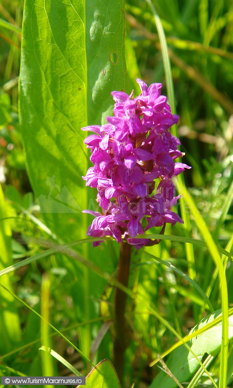 24_Orhidee-salbatica