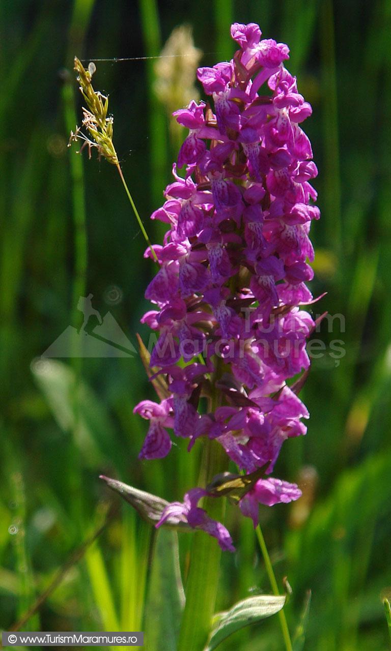 26_Orhidee-salbatica