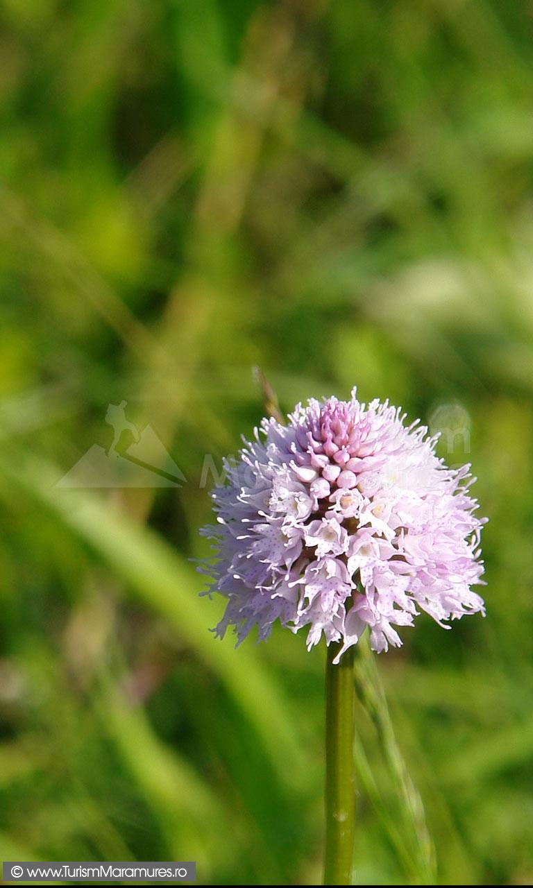 28_Orhidee-salbatica