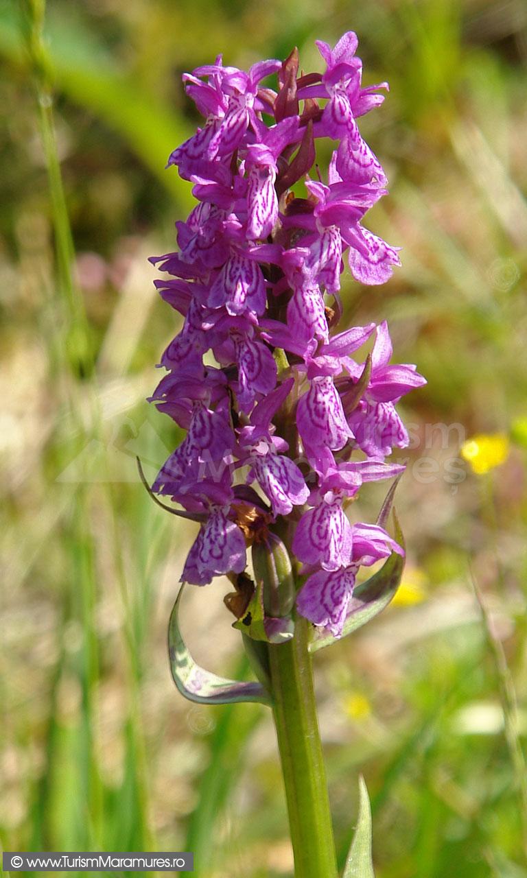 50_Orhidee-salbatica