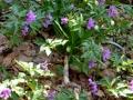 09-Dentaria-glandulosa-si-Leucojum-vernum.jpg