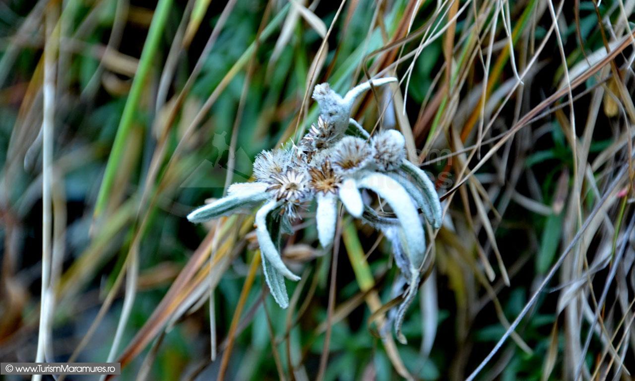 63_Floare-de-colt_Leontopodium-alpinum