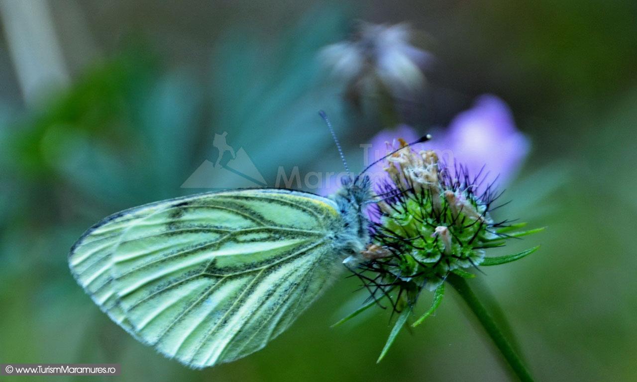68_Fluture
