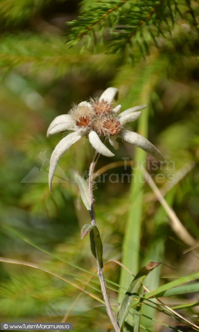 72_Floare-de-colt_Leontopodium-alpinum