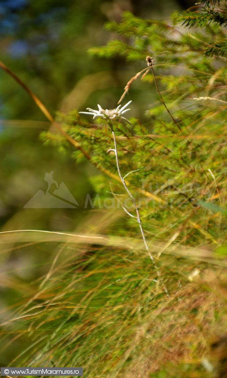 73_Floare-de-colt_Leontopodium-alpinum