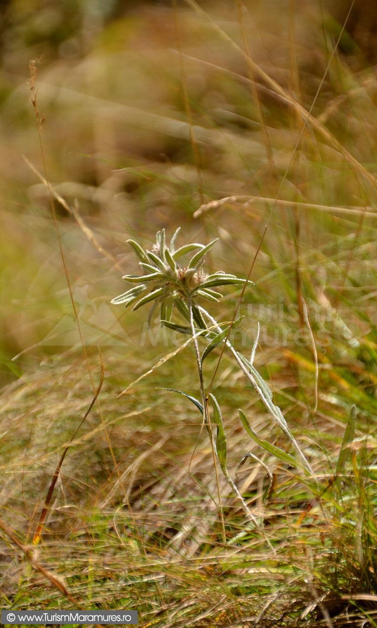 75_Floare-de-colt_Leontopodium-alpinum
