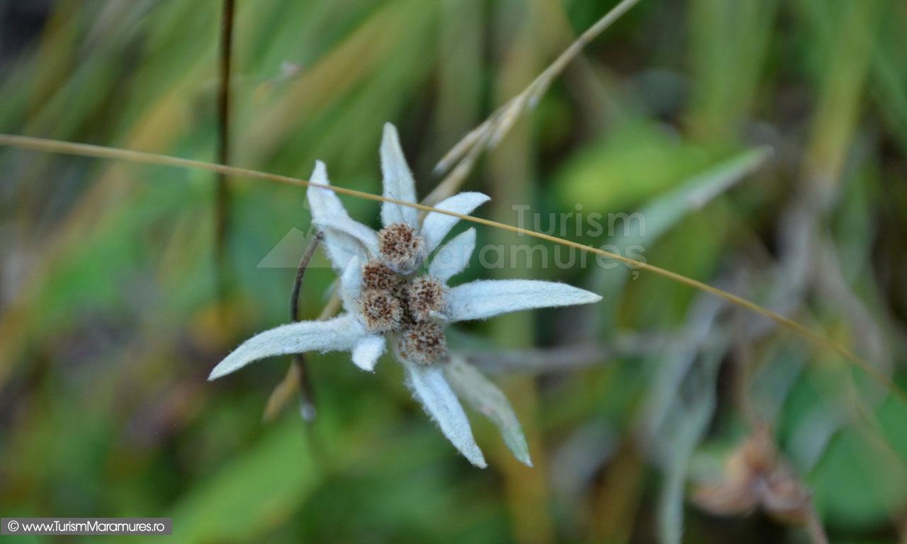 77_Floare-de-colt_Leontopodium-alpinum