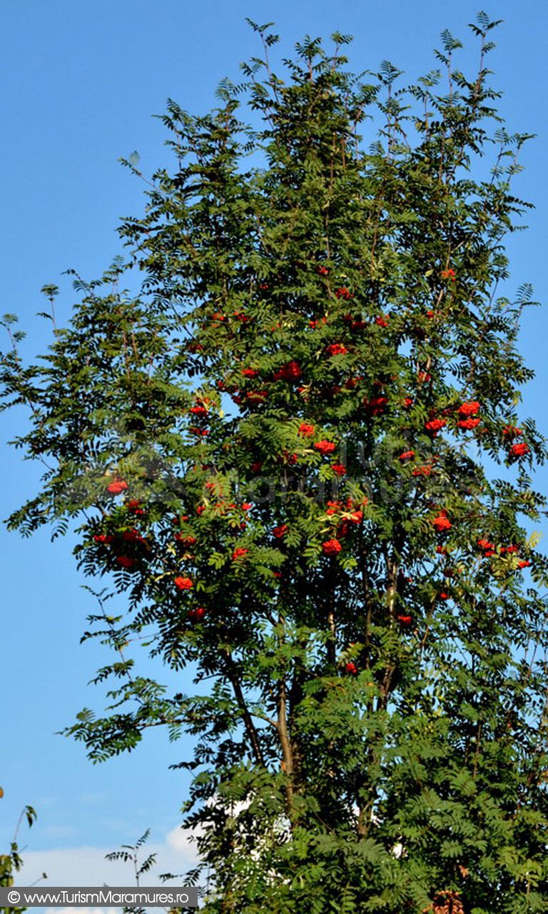 63_Scorus-salbatic_Sorbus-aucuparia