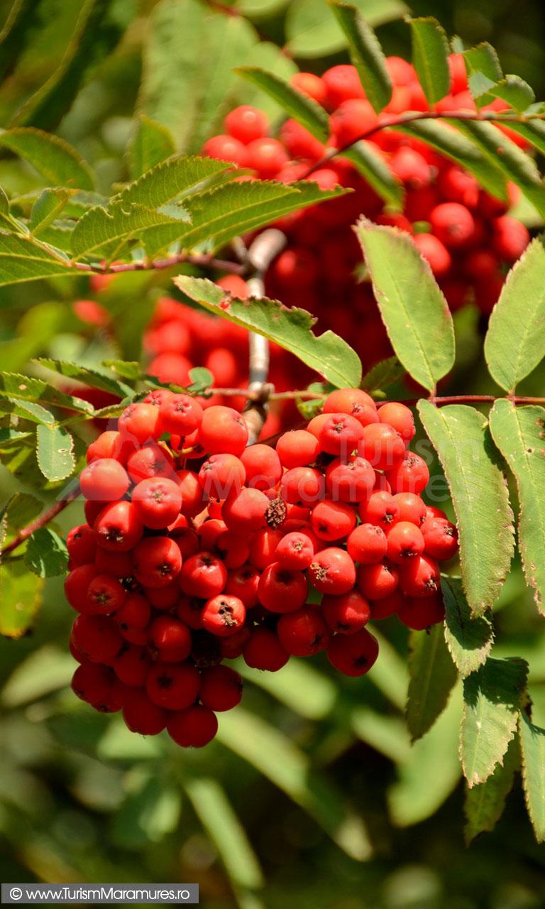 64_Fructe-de-Sorbus-aucuparia_Scorus-salbatic