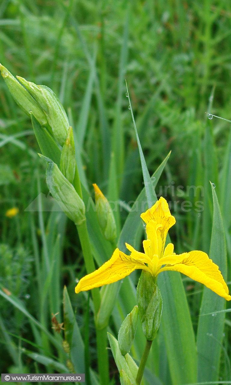07_Iris-pseudacorus