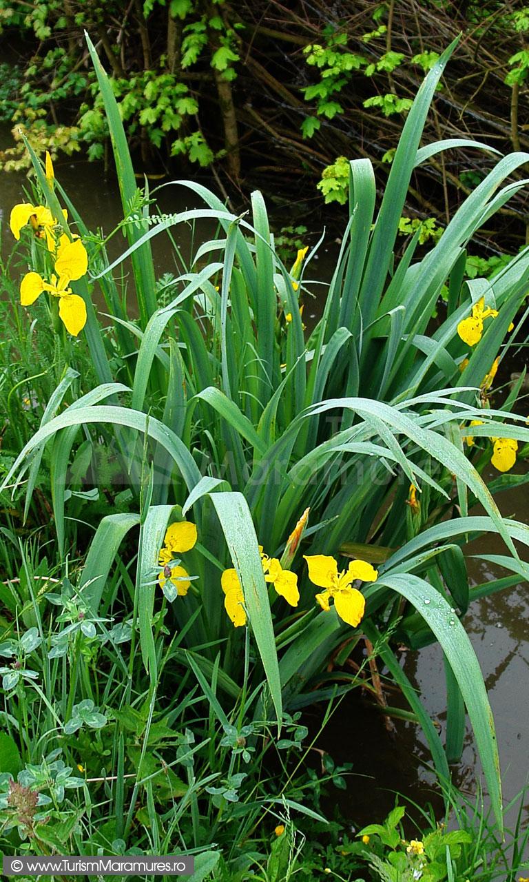 09_Iris-pseudacorus