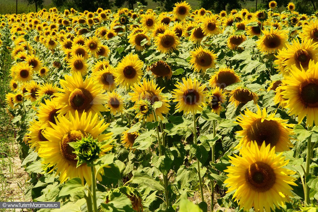 01_Floarea-soarelui