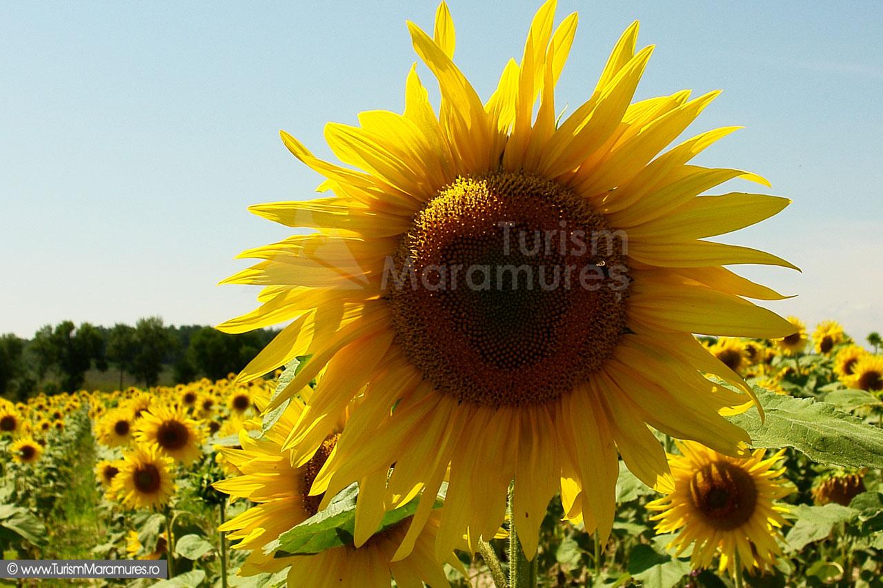 02_Floarea-soarelui