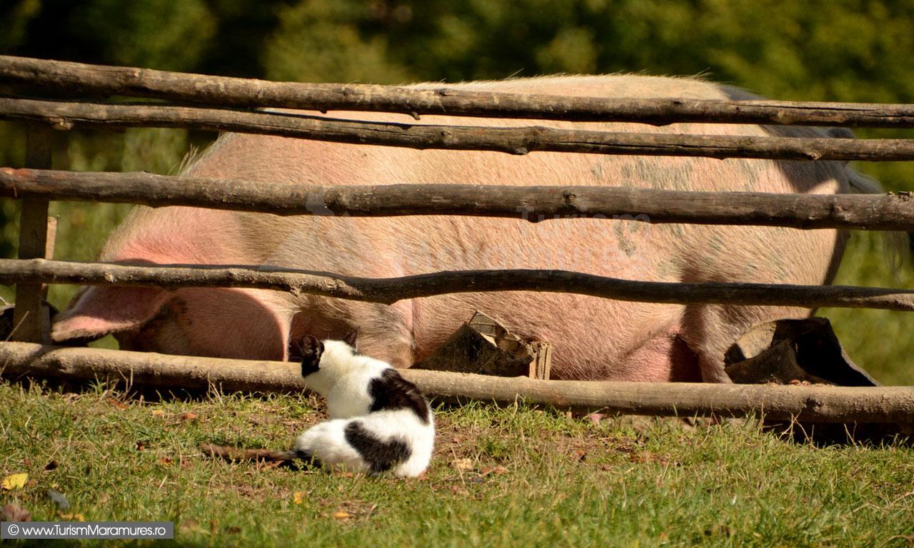 85_Porc-si-pisica