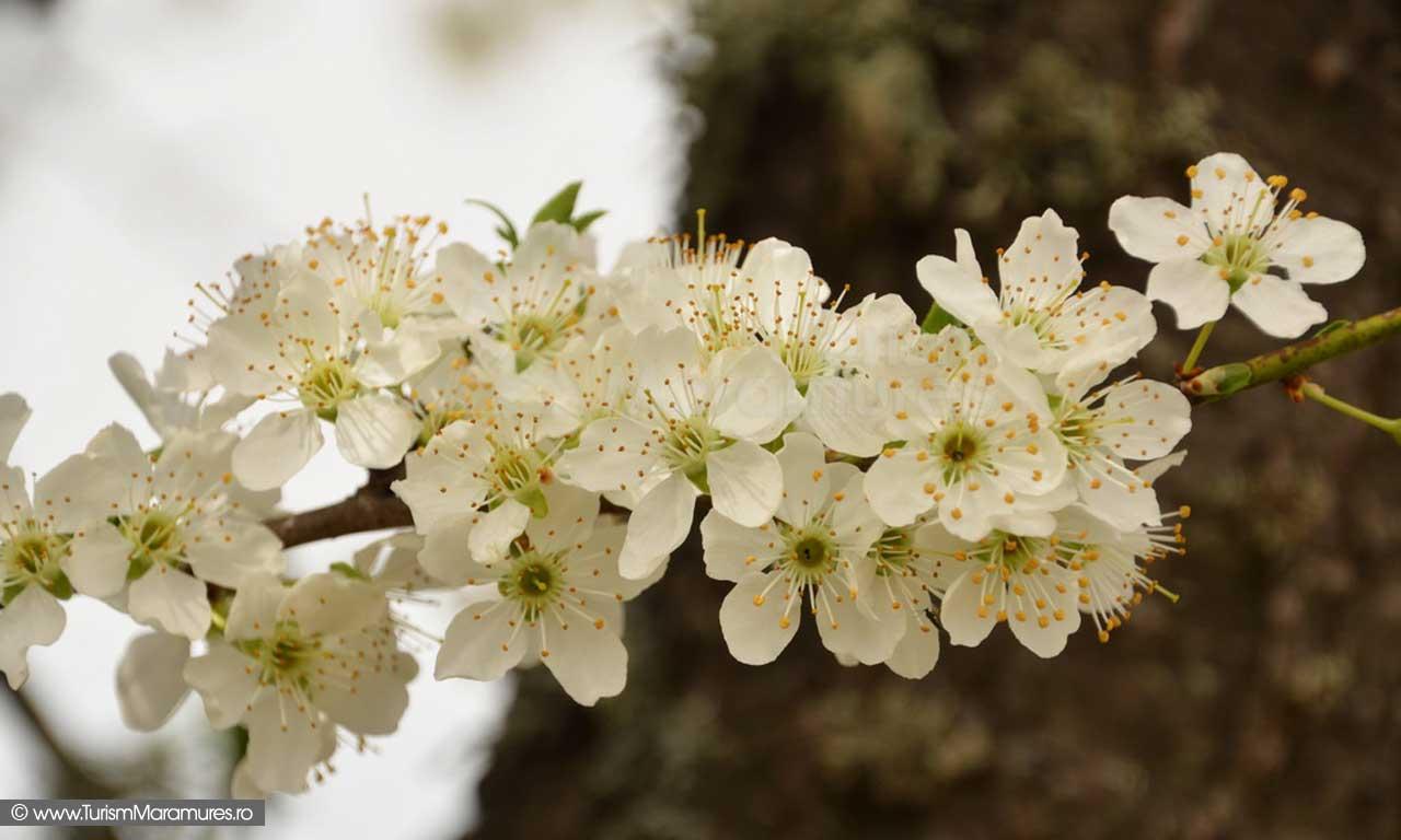 22_Flori-corcodus