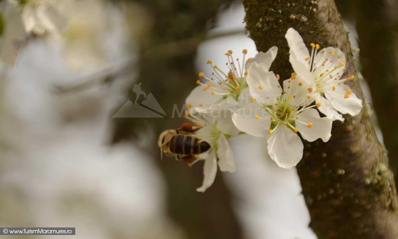 23_Albina-cu-polen-pe-flori-de-corcodus