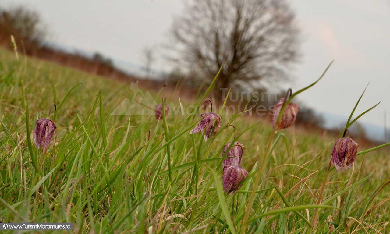 61_Lalele-pestrite_Frittilaria-meleagris