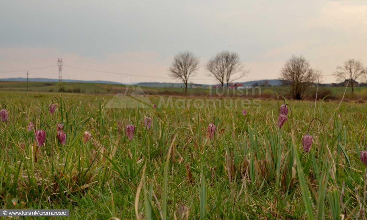 65_Lalele-pestrite_Frittilaria-meleagris