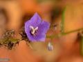 34-Campanula-persicifolia-Clopotel