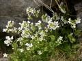 45_Arabis-alpina_Gascarita