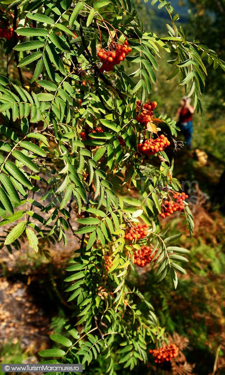 14_Sorbus-aucuparia_Scorus-salbatic