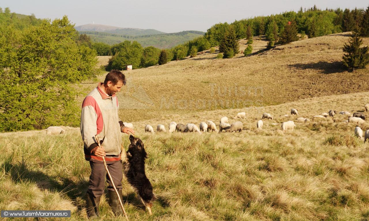 Cioban-cu-caine
