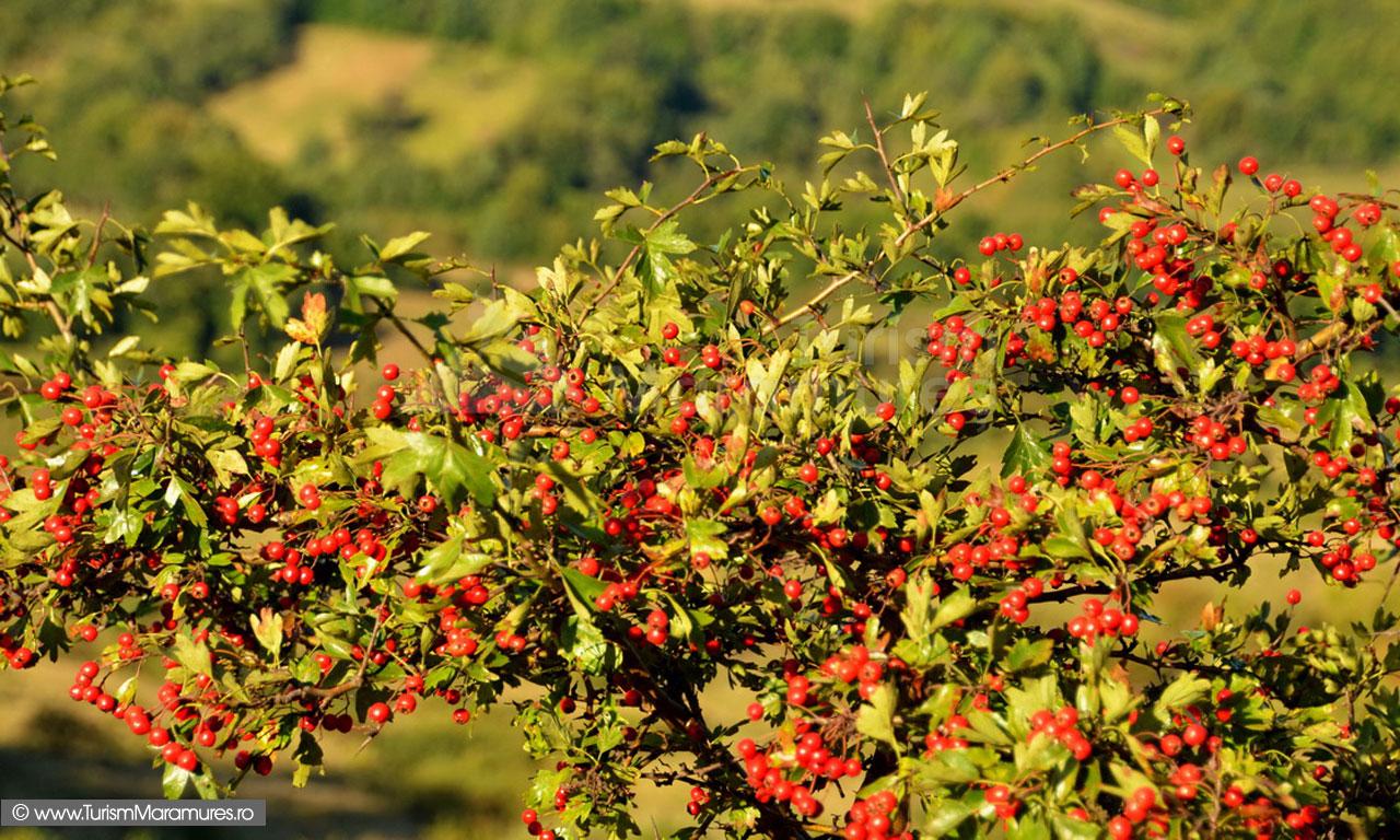 26_Fructe-de-paducel