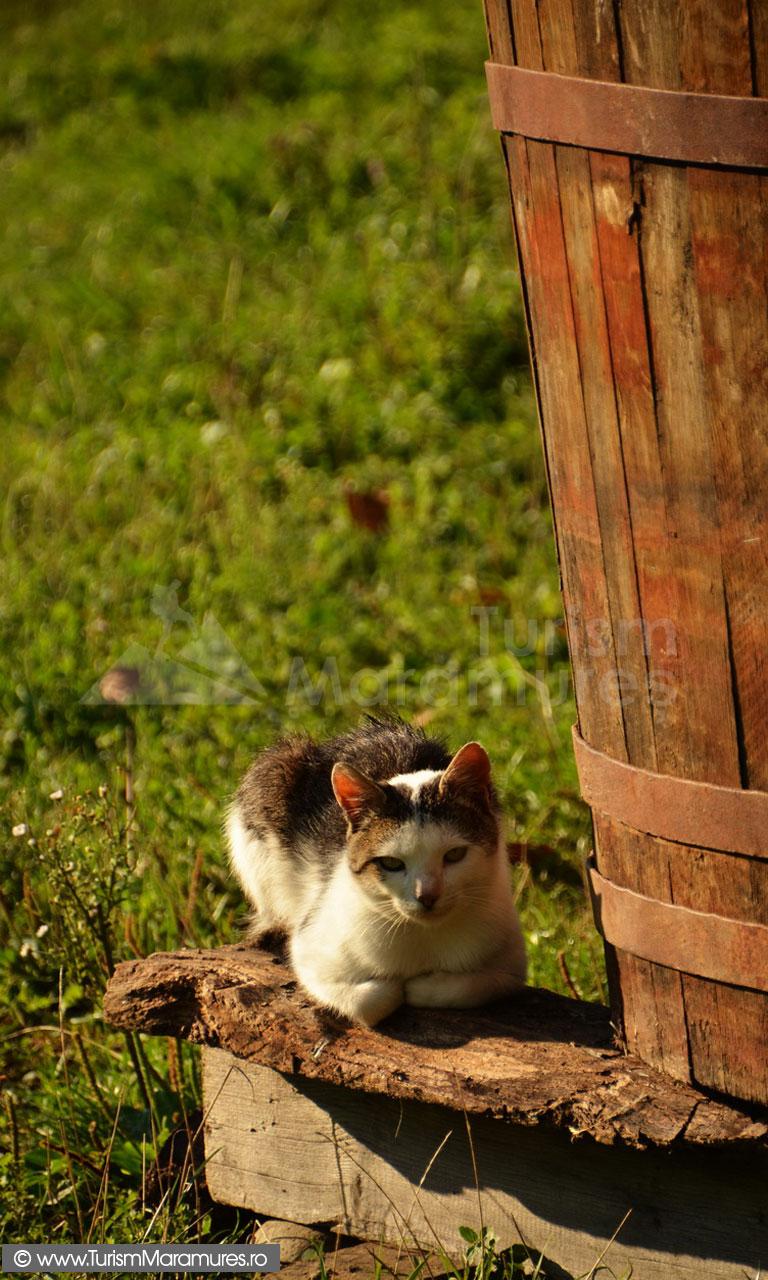 36_Pisica