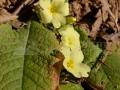 29-Primula-vulgaris