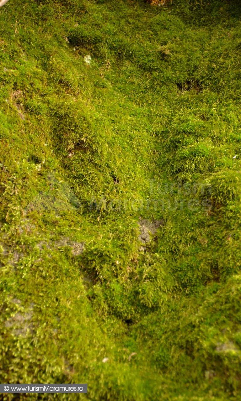 Muschi pe aglomerate vulcanice riodacitice de Danesti