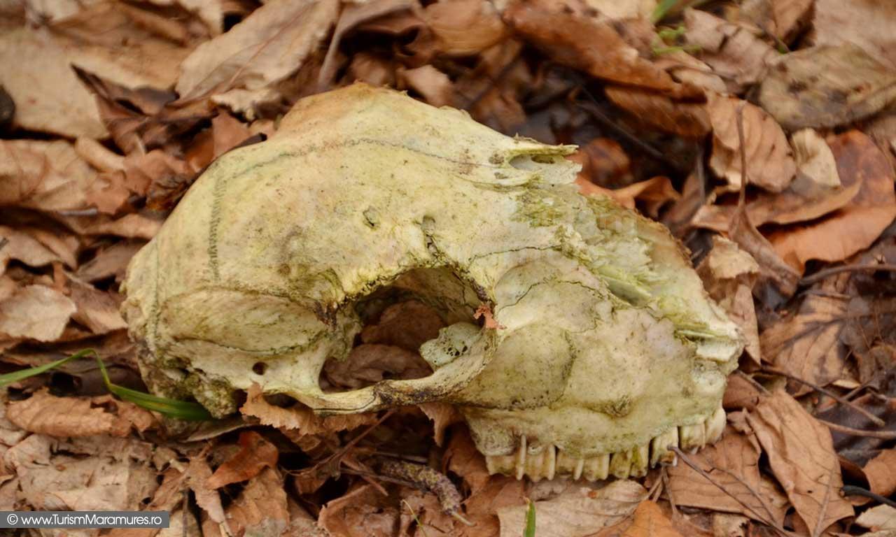 Craniu animal