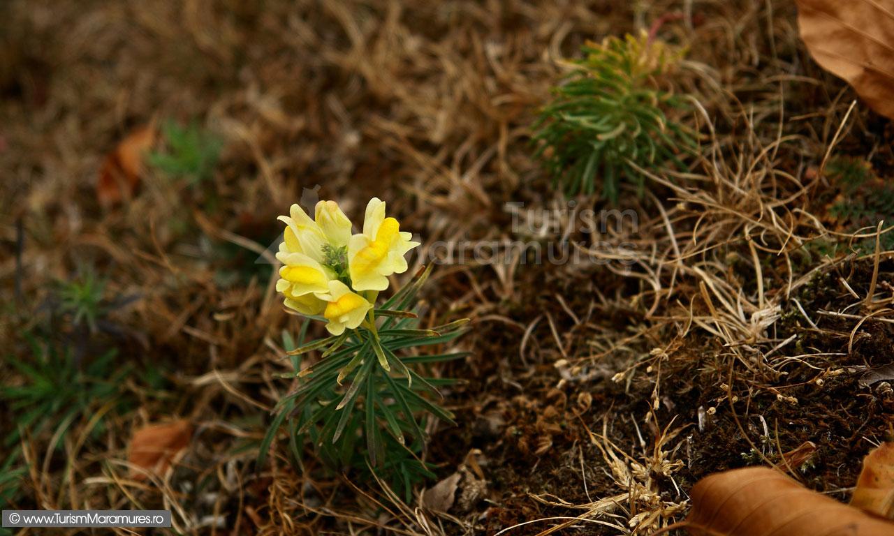 22_Gura-Leului-spontana_Linaria-vulgaris_Linaritza