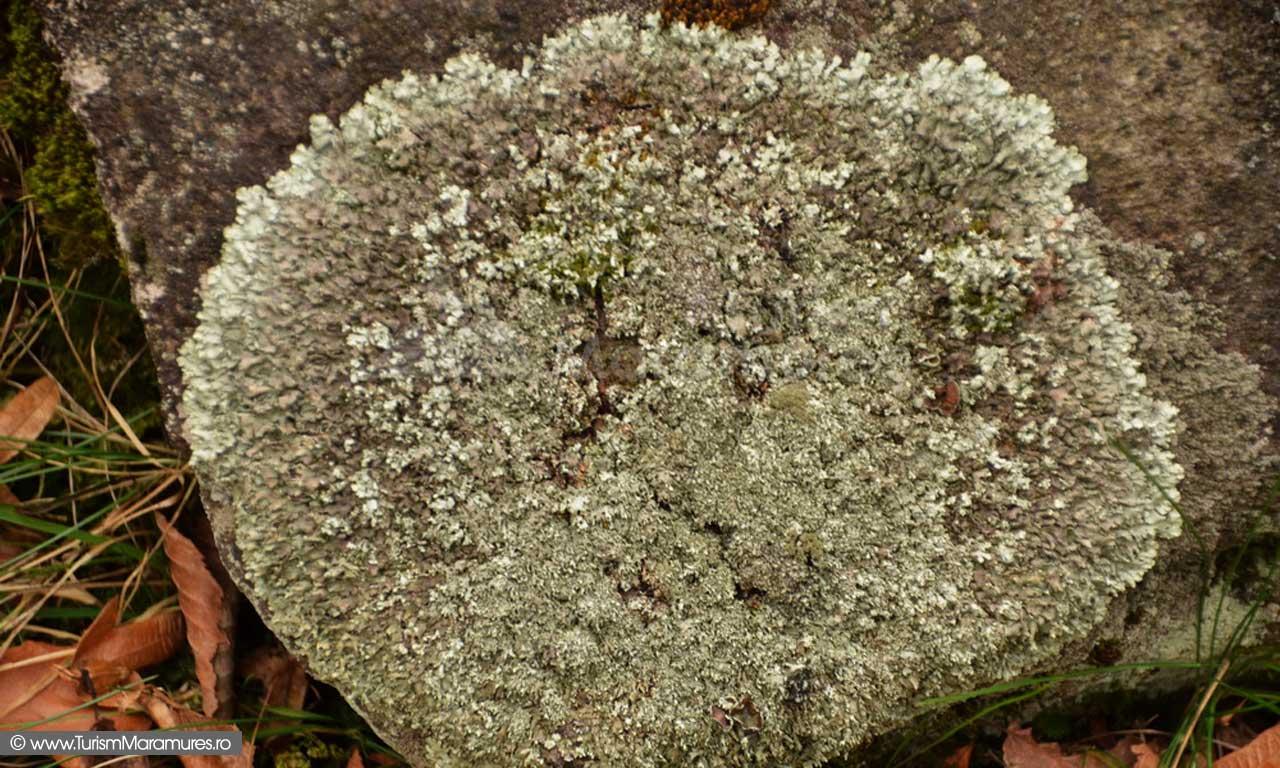 Licheni de piatra