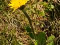 112-floare-Anghinarea-oilor-Hypochaeris-uniflora