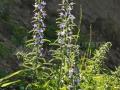 30-Iarba-Sarpelui-Echium-vulgare