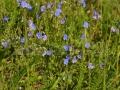 34-floare-Veronica-chamaedrys