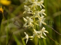 36-Stupinita-Platanthera-bifolia