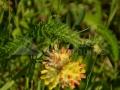 49-Capul-turcului-vatamatoare-Anthyllis-vulneraria