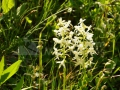 60-Orhidee-Platanthera