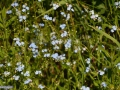 67-floare-Nu-ma-uita