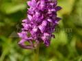 77-Orhidee-Dactylorhiza-majalis