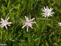 79-floare-Luceafar-Scorzonera