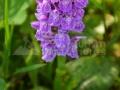 83-floare-poroinic-Dactylorhiza-maculata