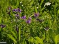 92-floare-unghia-pasarii-Viola-declinata