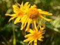 95-floare-arnica-Arnica-montana