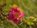 99-Maces-Rosa-canina