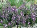 05-floare-Teucrium-chamaedrys--Dumbat