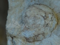 11-fosile