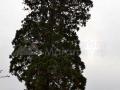 50_Sequoia-giganthea-Ardusat